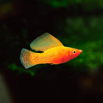 Picture of Վելիֆեռա